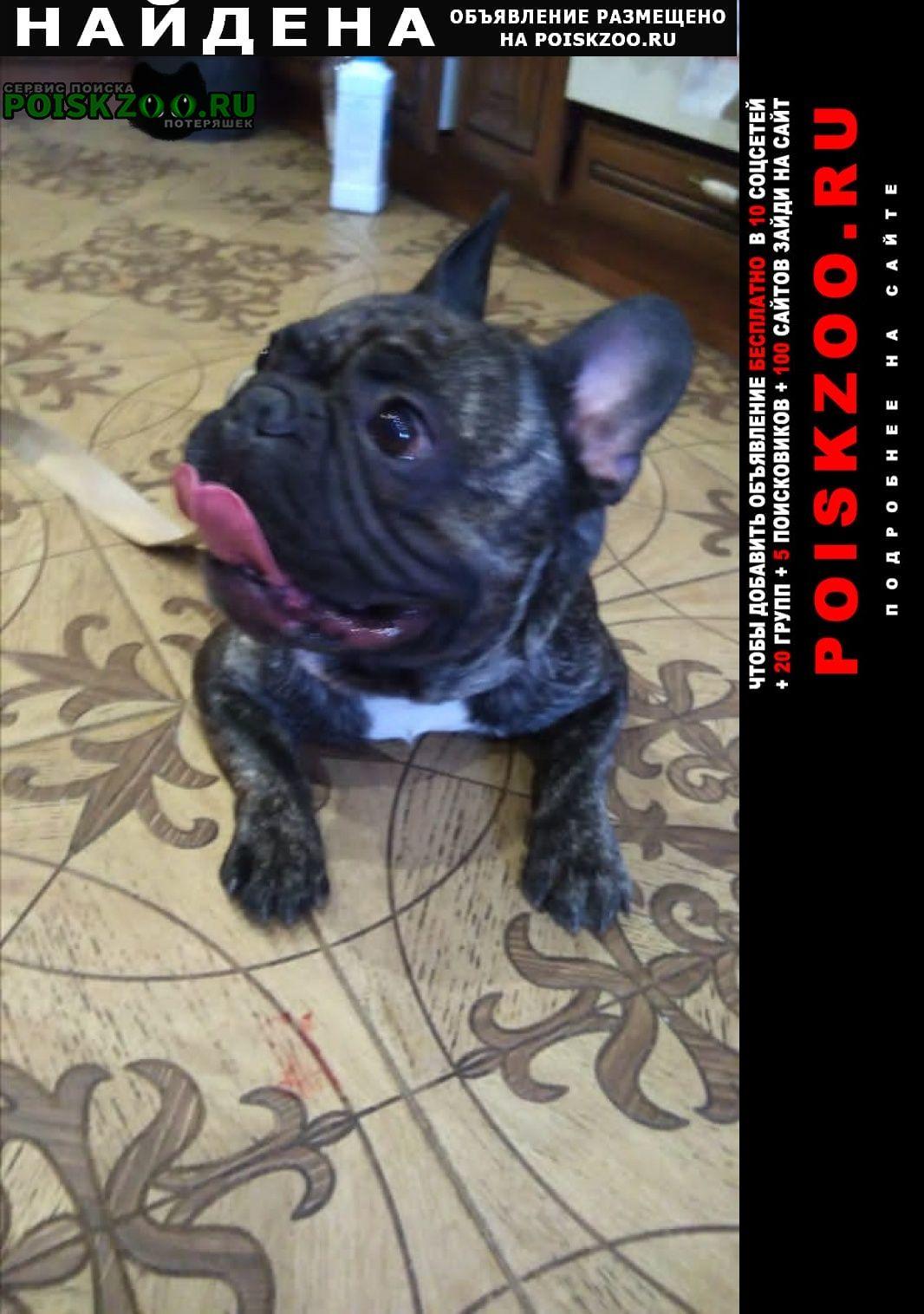 Найдена собака кобель французский будьдог Владимир