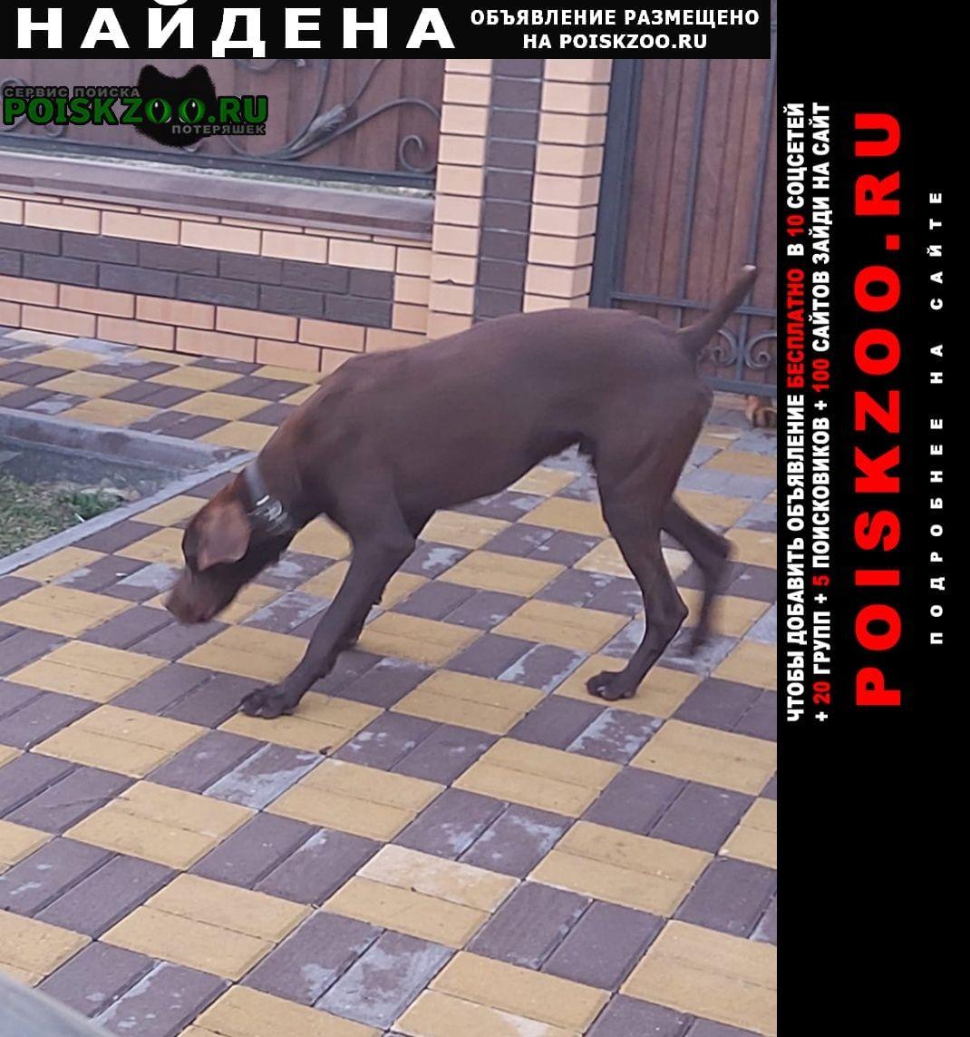 Найдена собака кобель ижс сосенки Старый Оскол