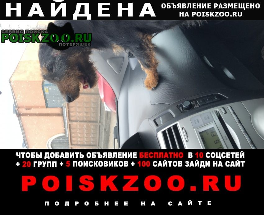 Найдена собака ягдтерьер Санкт-Петербург