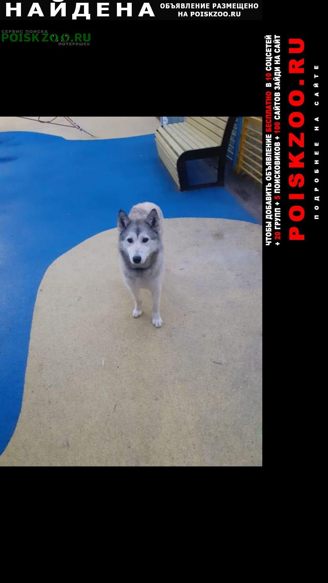 Найдена собака помесь хаски.молодая Дубна