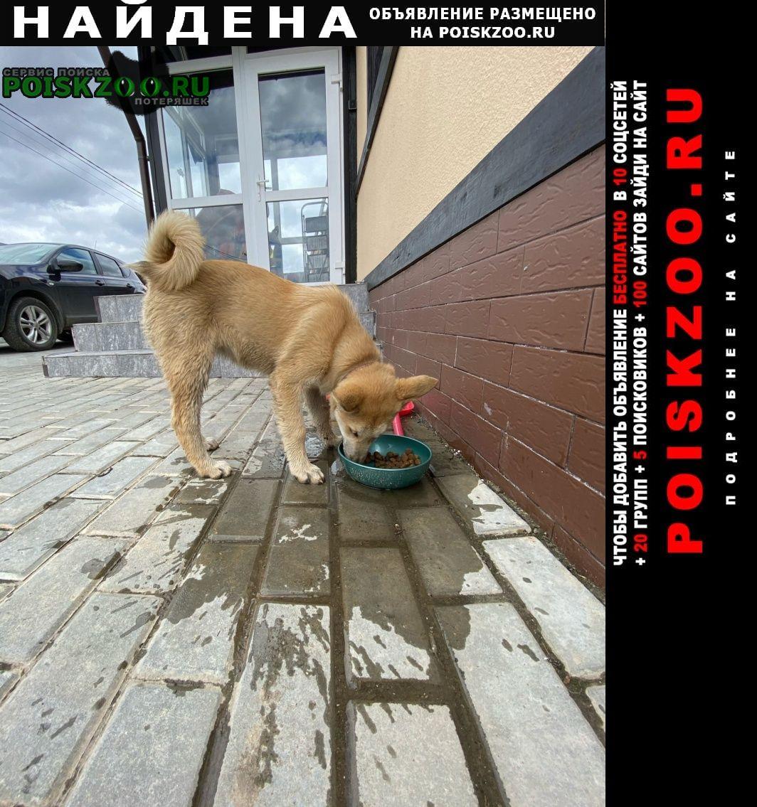 Найдена собака подросток метис сиба-ину или лайки Домодедово