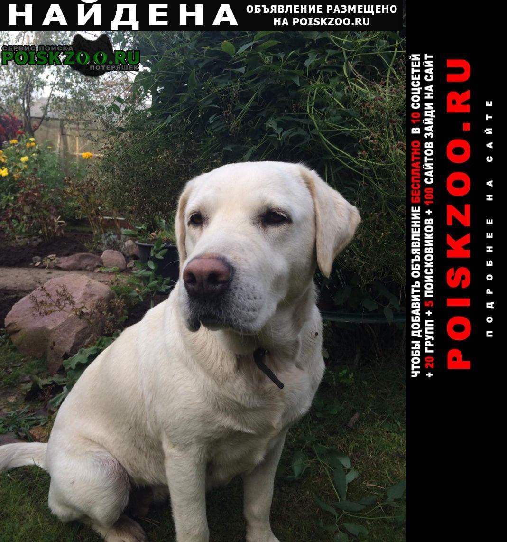 Найдена собака лабрадор девочка Куровское