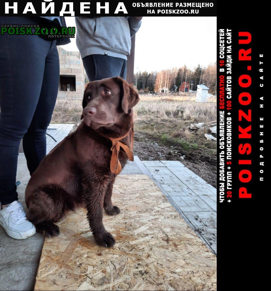 Найдена собака щенок лабрадора (девочка) шоколад Выборг