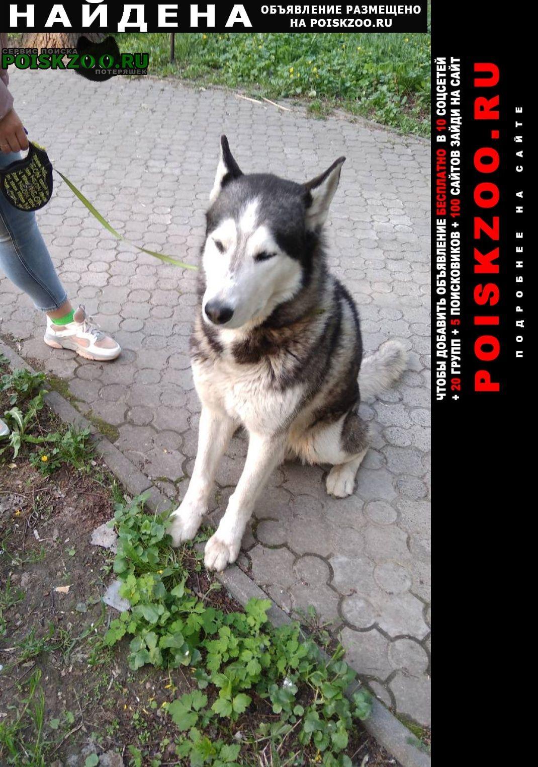Найдена собака кобель маломут Запорожье