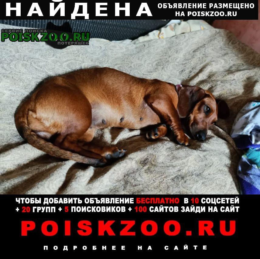 Найдена собака такса в г е Венев
