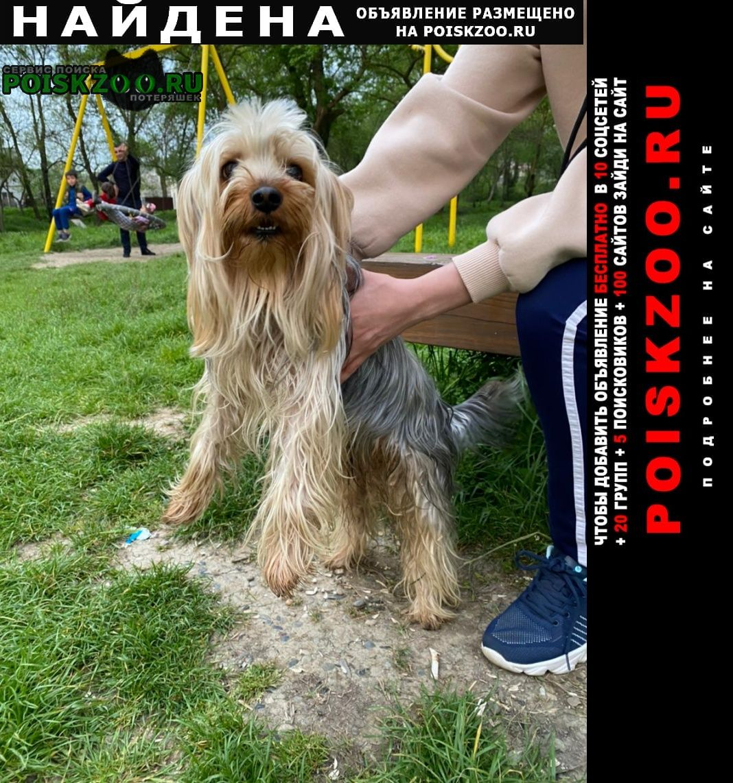 Найдена собака кобель йоркширский терьер Архипо-Осиповка