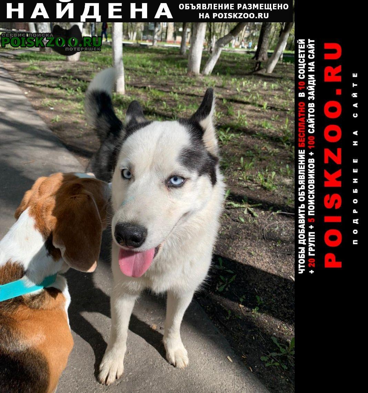 Найдена собака щенок хаски девочка в течке Железнодорожный (Московск.)