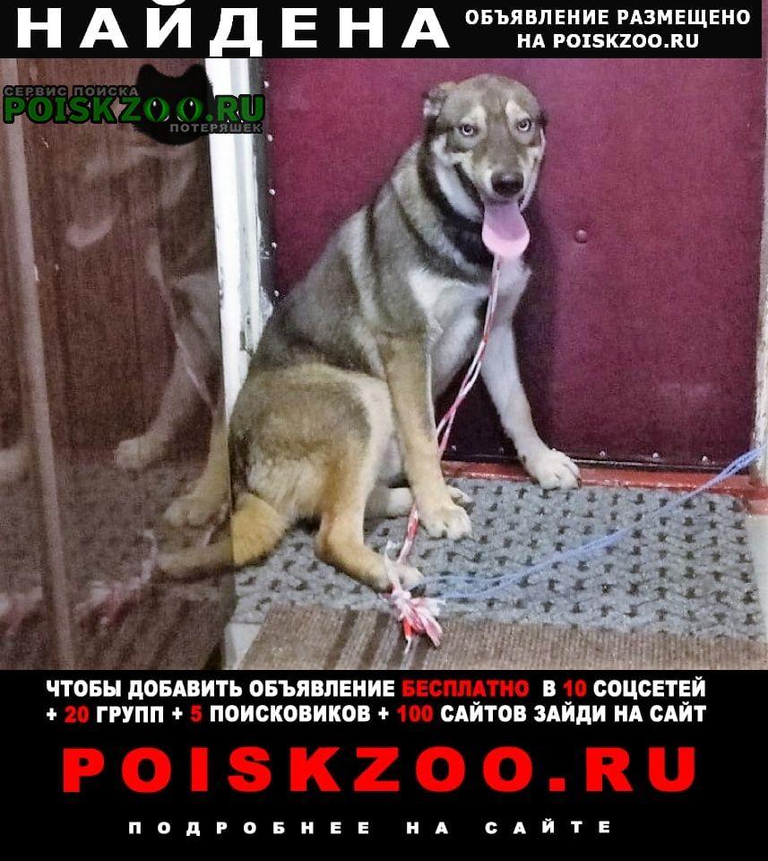Найдена собака кобель метис хаски Москва