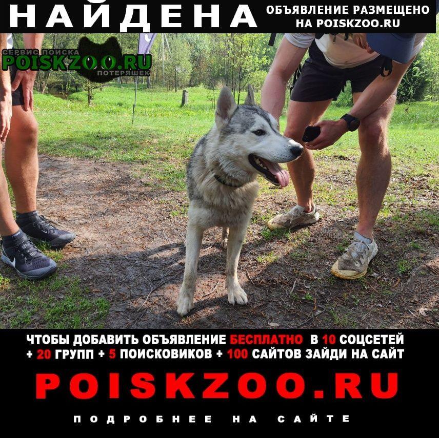 Найдена собака кобель хаски. на станции Пушкино