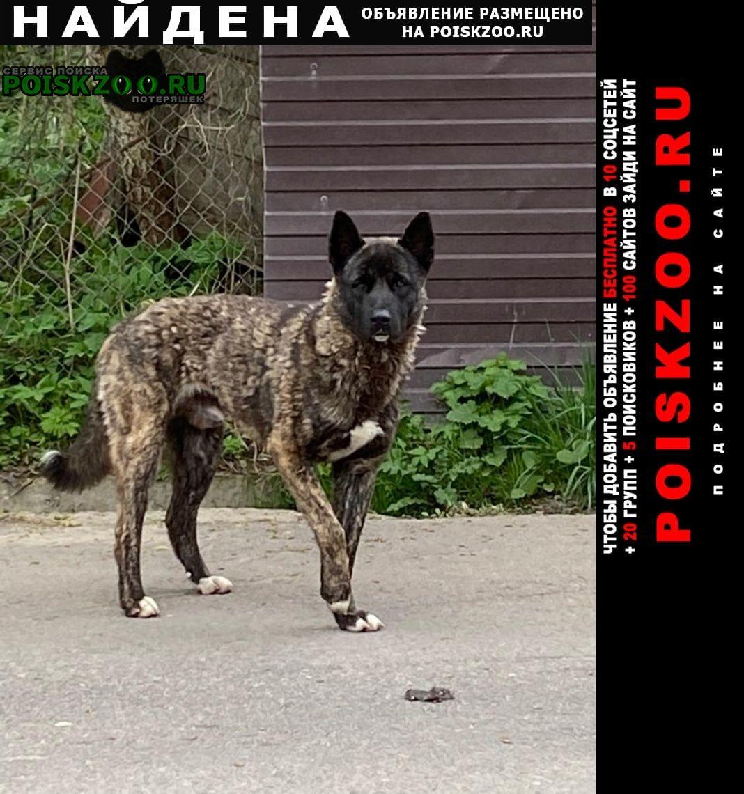 Найдена собака кобель тигровый Одинцово