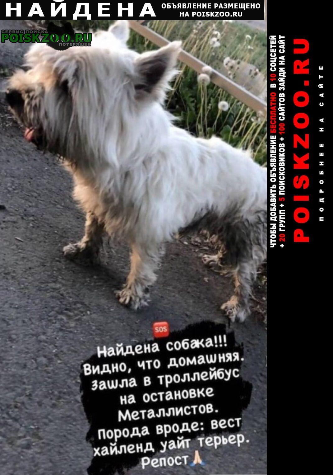 Найдена собака кобель вест хайленд уайт терьер Оренбург