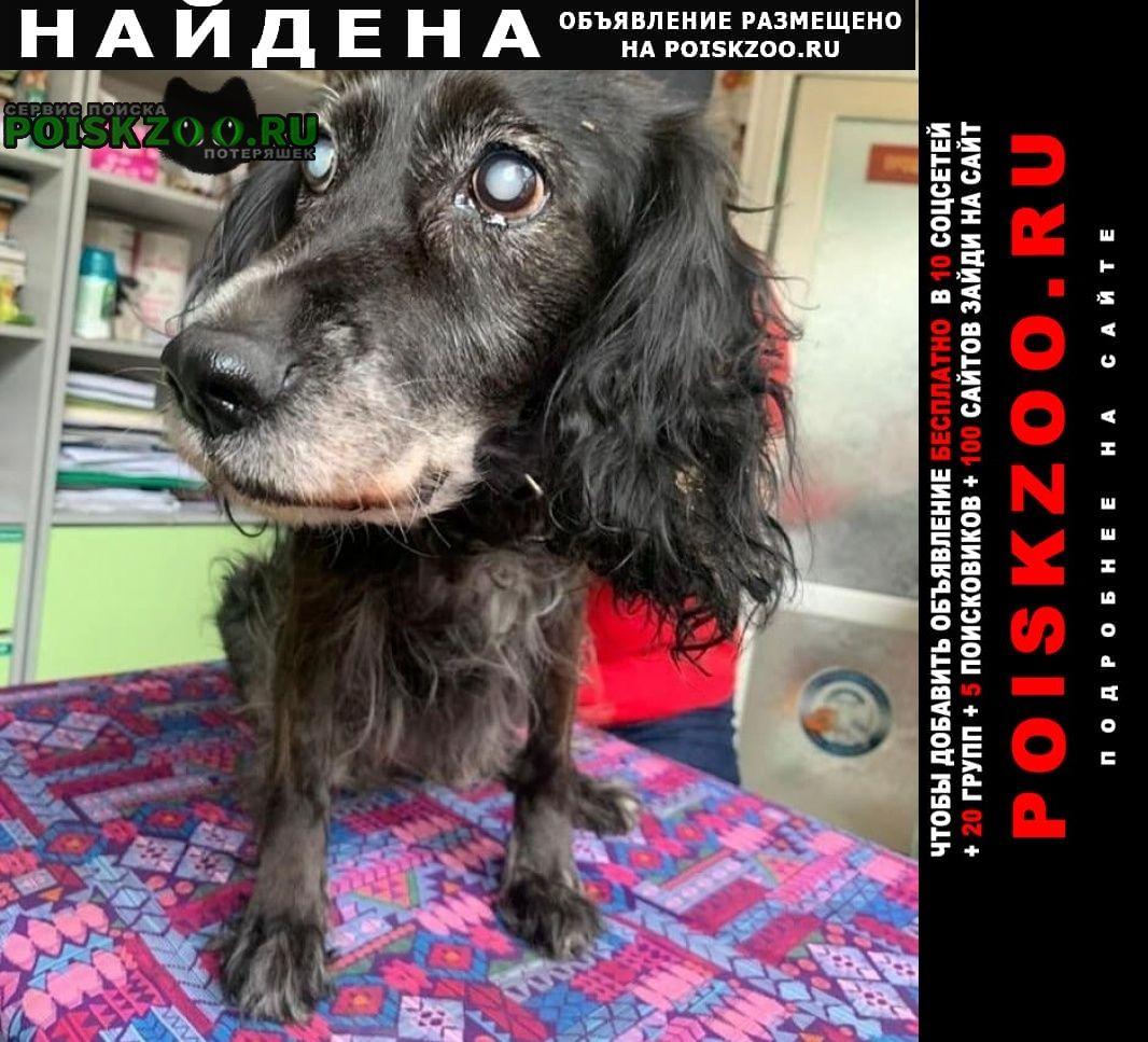 Найдена собака пожилая метис спаниеля сука черно-седая Иркутск