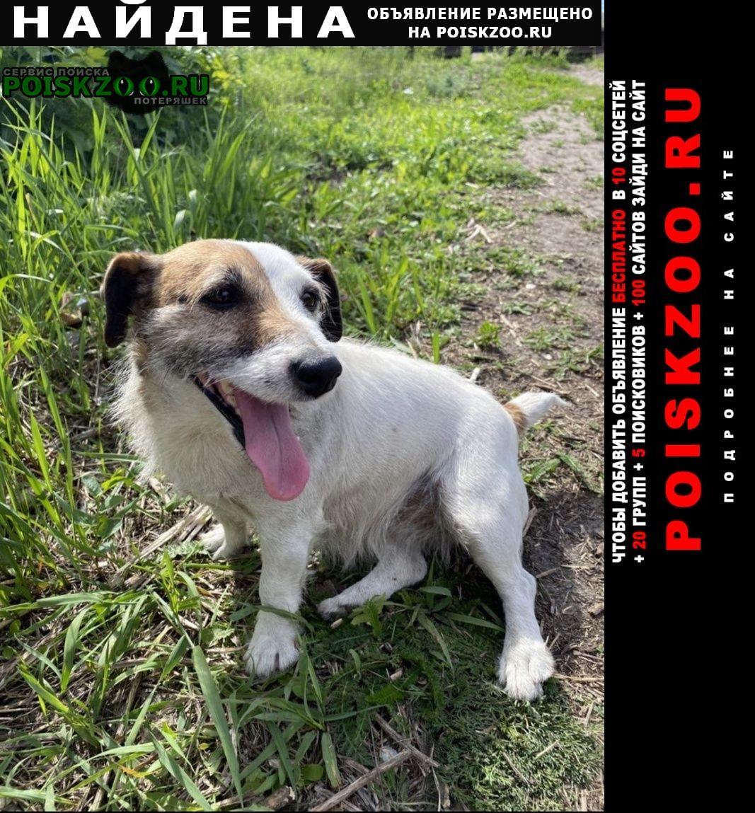 Найдена собака джек рассел терьер, девочка Воронеж