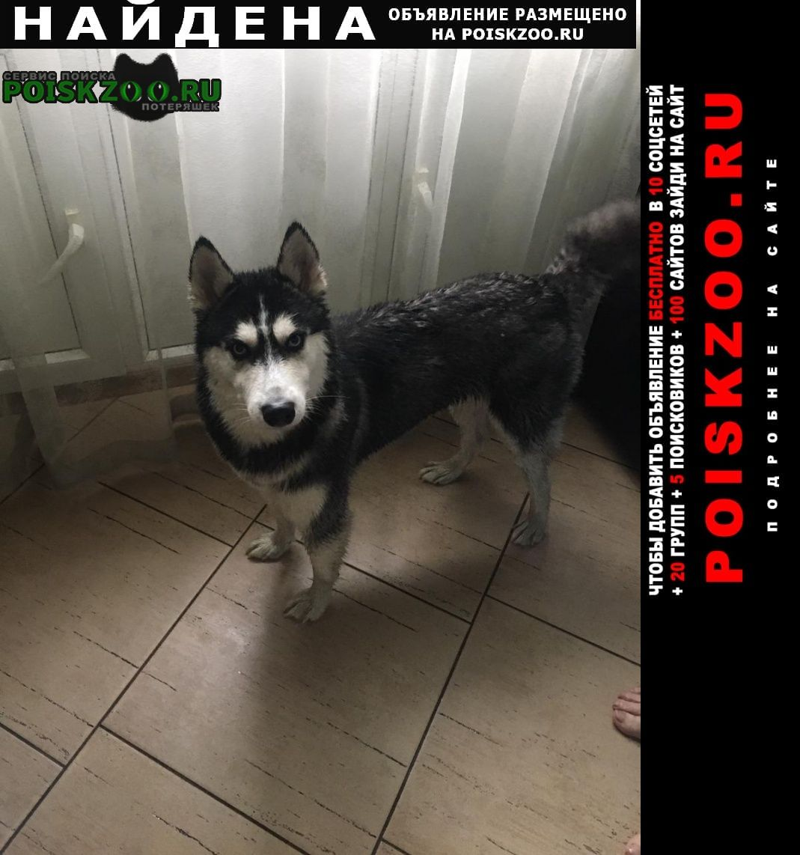 Найдена собака хаски, девочка район завод красфарма Красноярск
