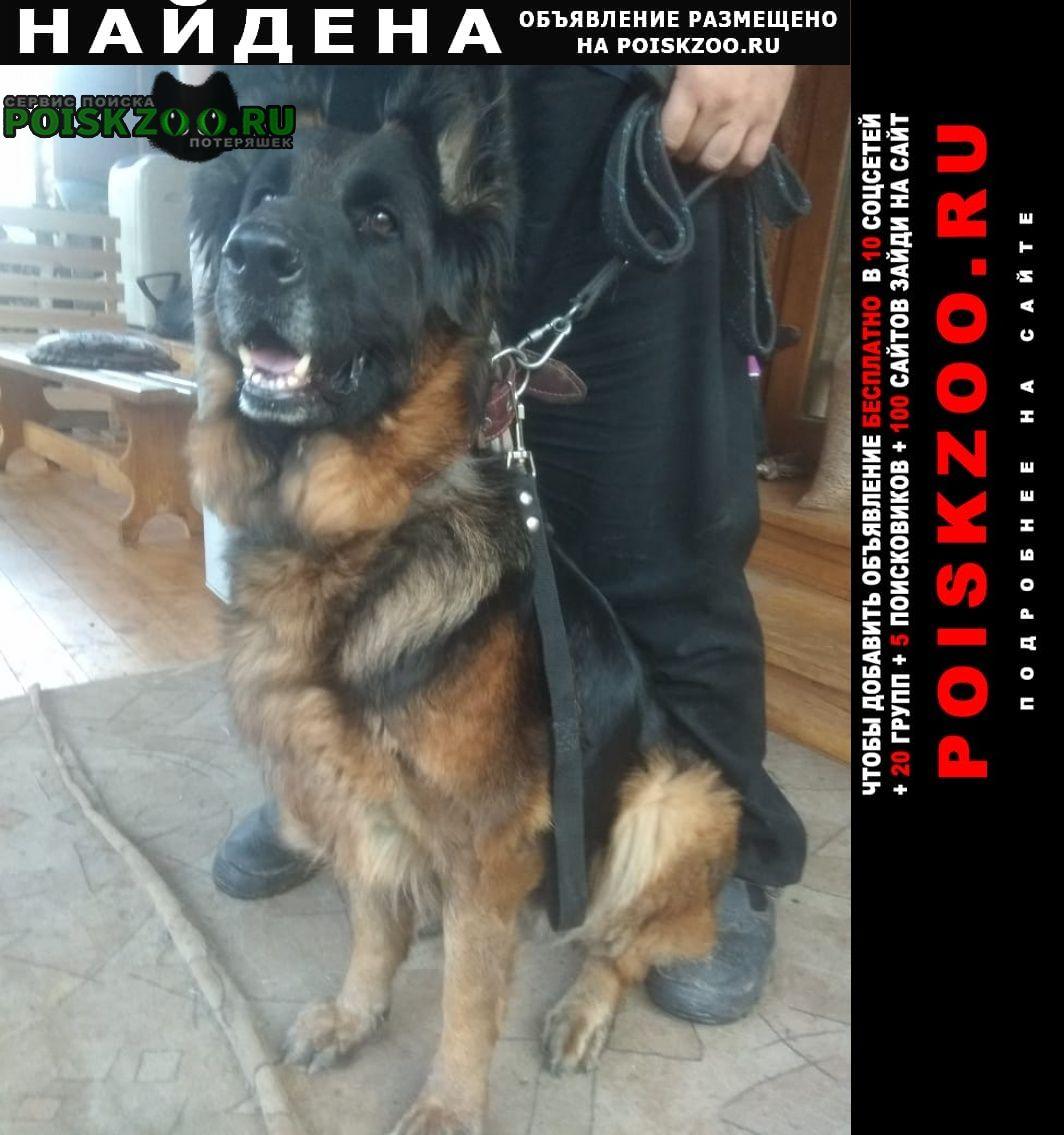 Найдена собака волоколамск, овчарка, сука. Москва