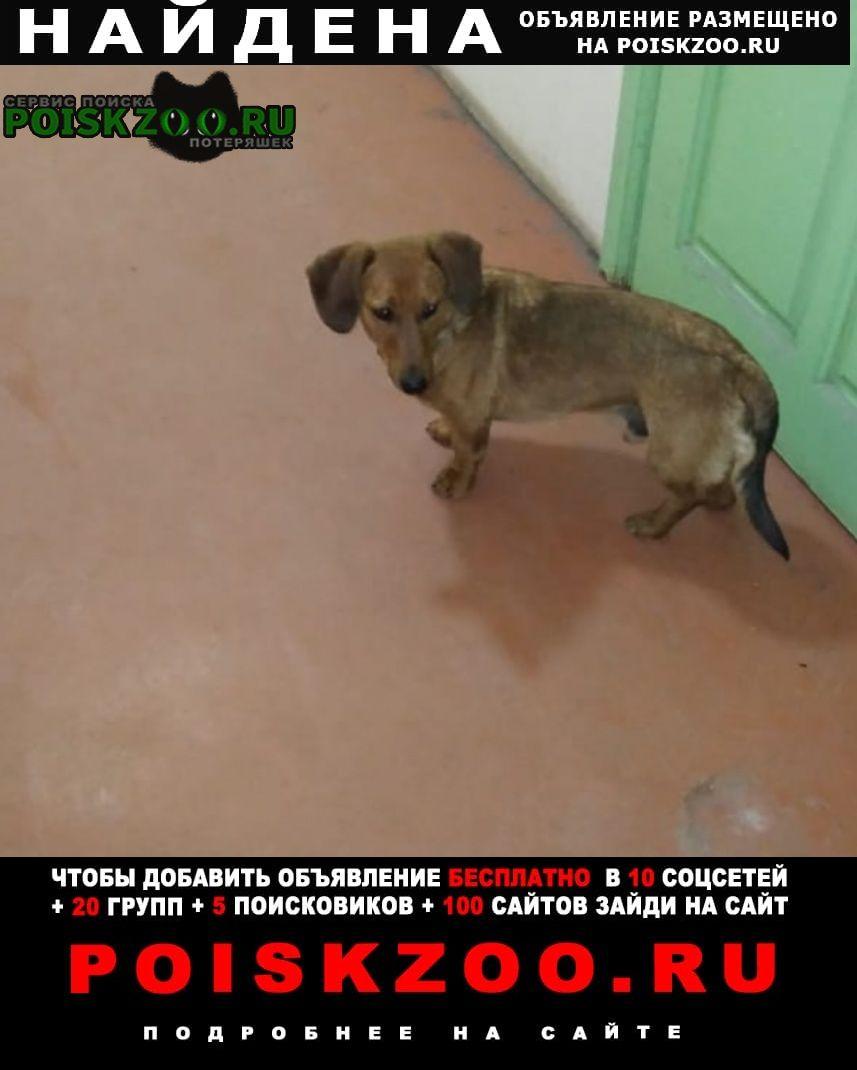 Найдена собака кобель такса Чита