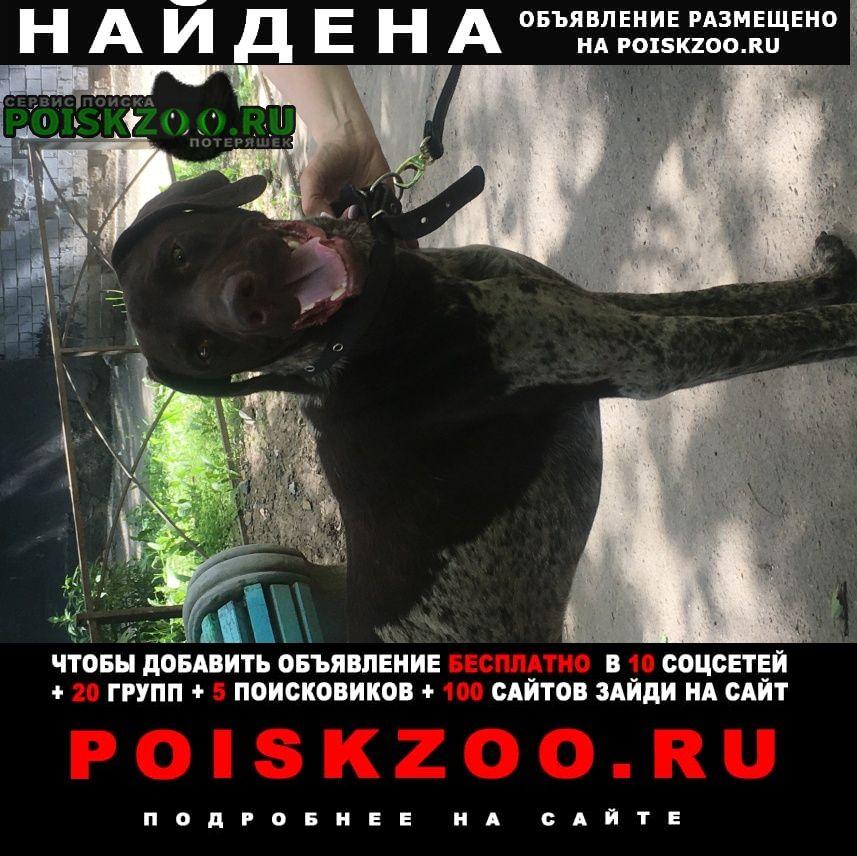 Найдена собака кобель курцхаар мальчик 1, 5-2 года Санкт-Петербург