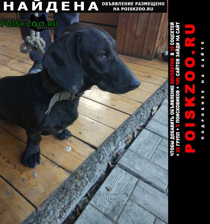 Найдена собака кобель такса, чёрного цвета, кабель Красноярск