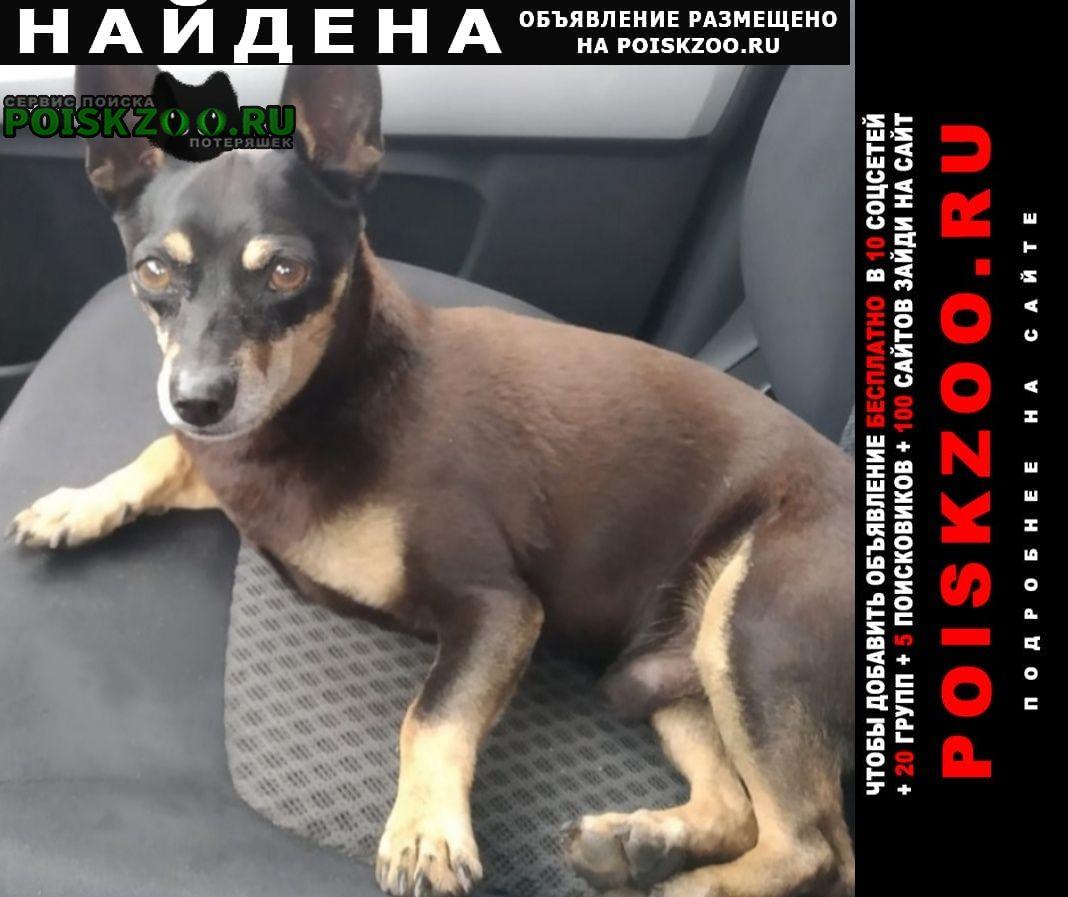 Найдена собака кобель той-терьер на трассе м-7 Кушнаренково