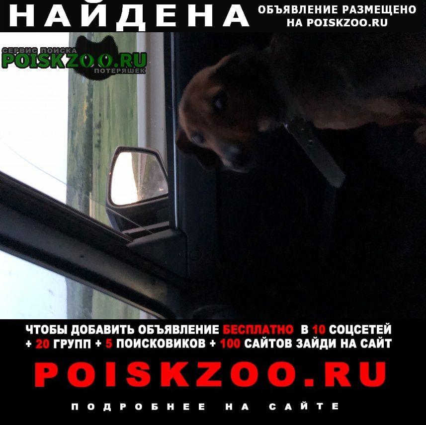 Найдена собака кобель такса Ставрополь