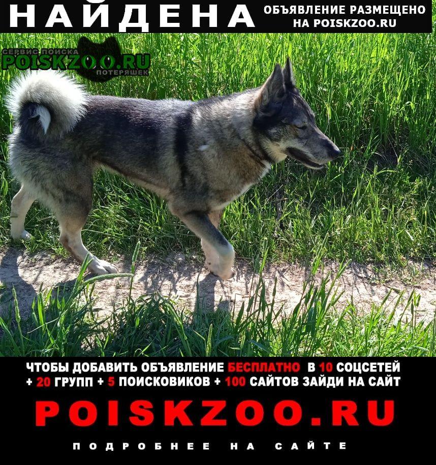 Найдена собака серая лайка-девочка Малоярославец