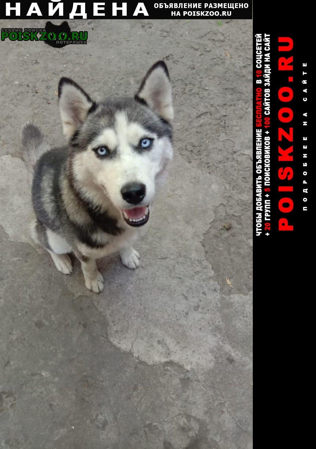 Найдена собака хаски в районе площади чкалова Ростов-на-Дону