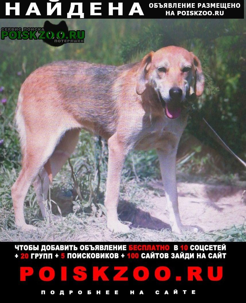 Найдена собака русская гончая Кашира