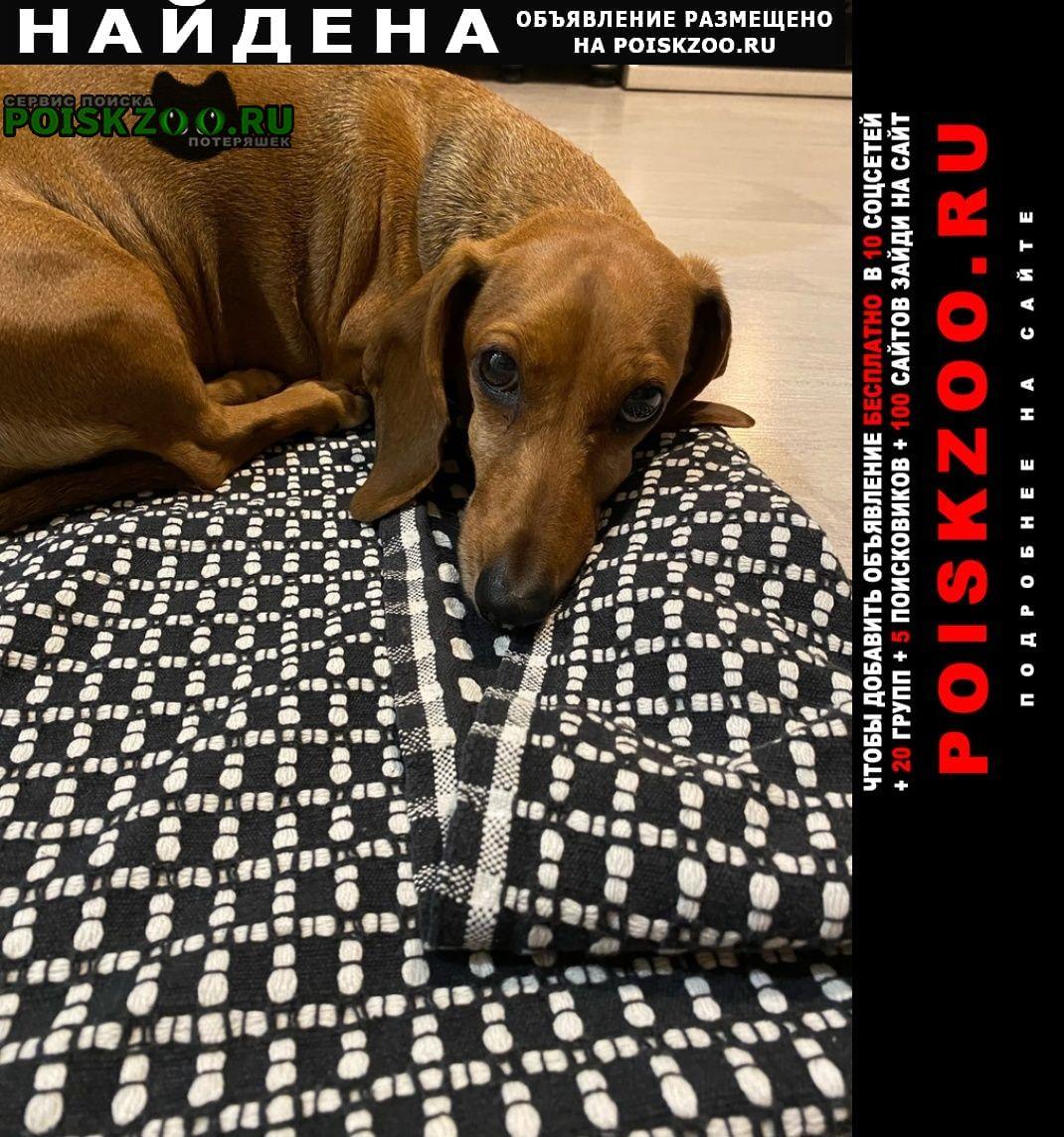 Найдена собака светло-коричневая такса Бердск