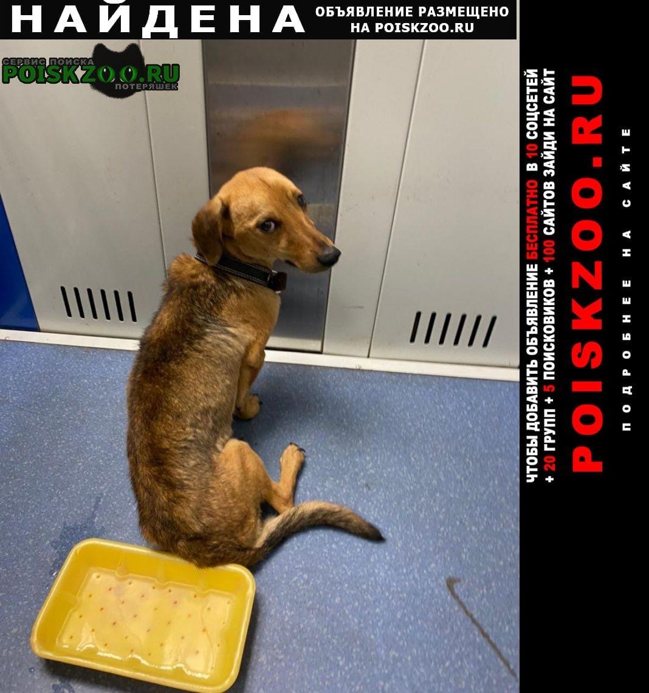Найдена собака кобель рыжая такса или метис таксы Зеленоград