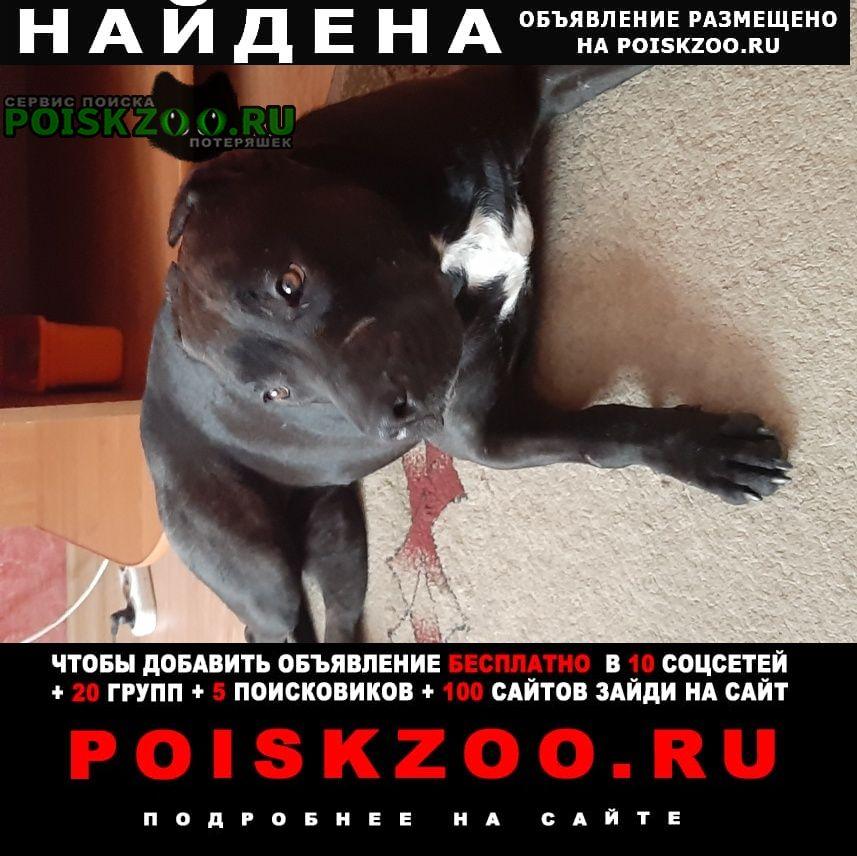 Найдена собака чёрный стафф, сучка Волгоград