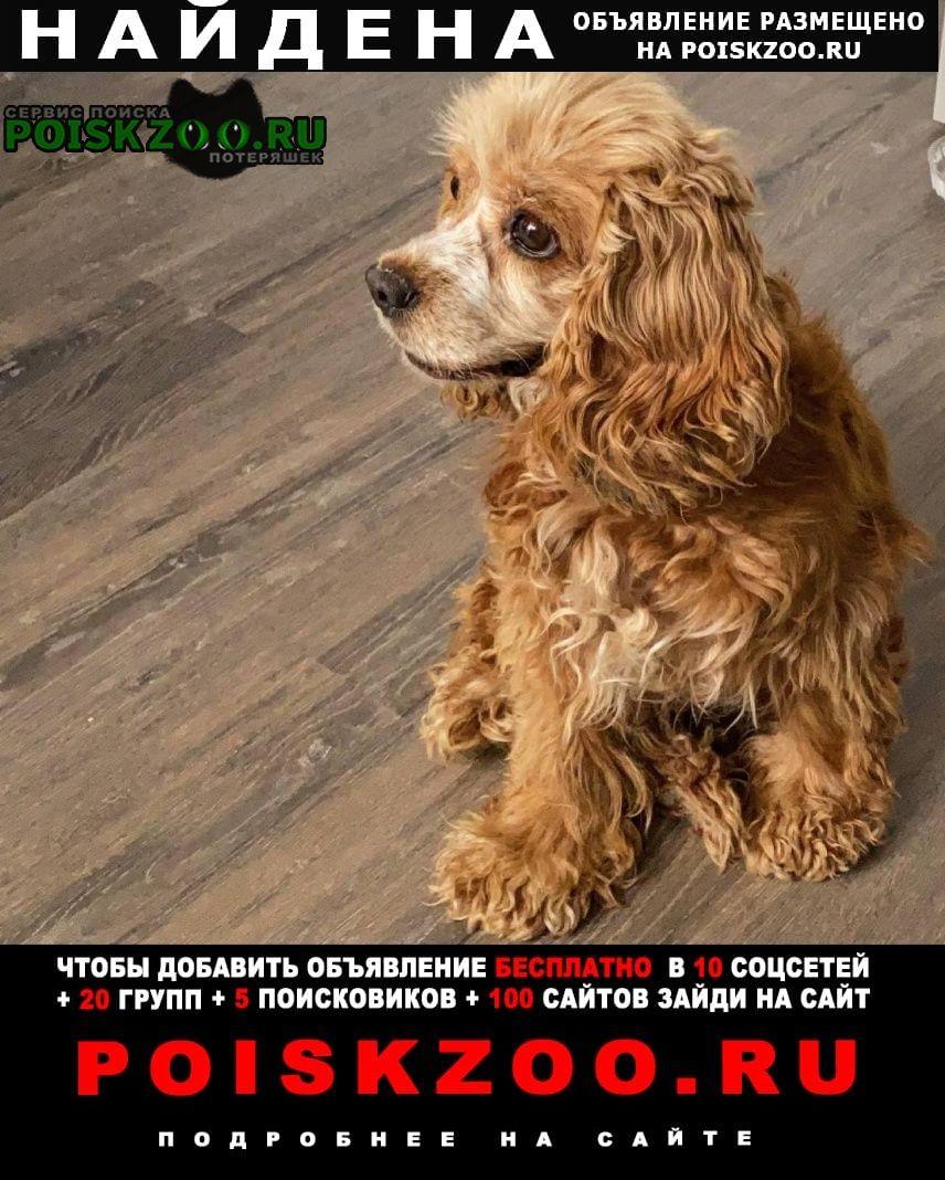 Оренбург Найдена собака английский кокер-спаниель палевого цвета