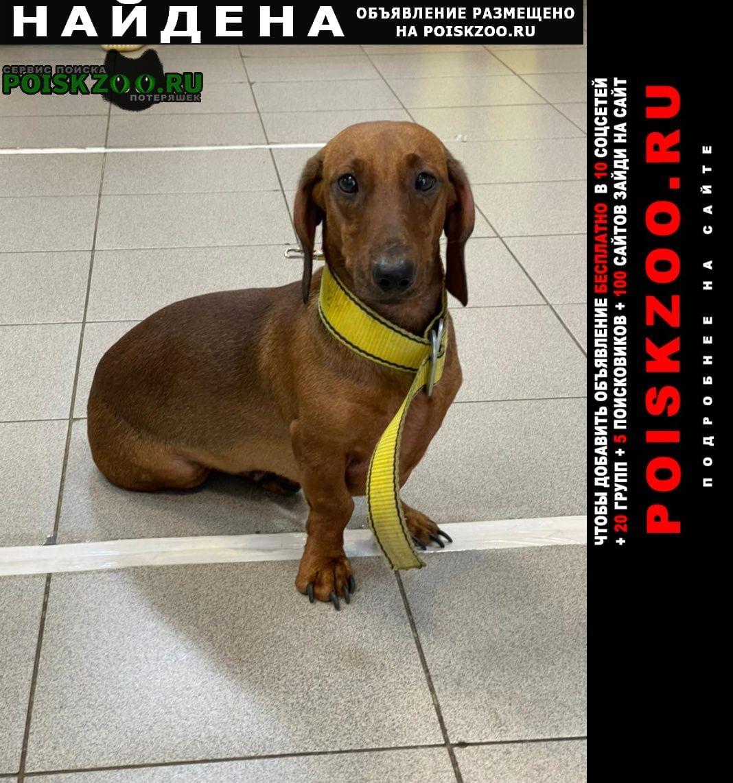 Москва Найдена собака кобель такса