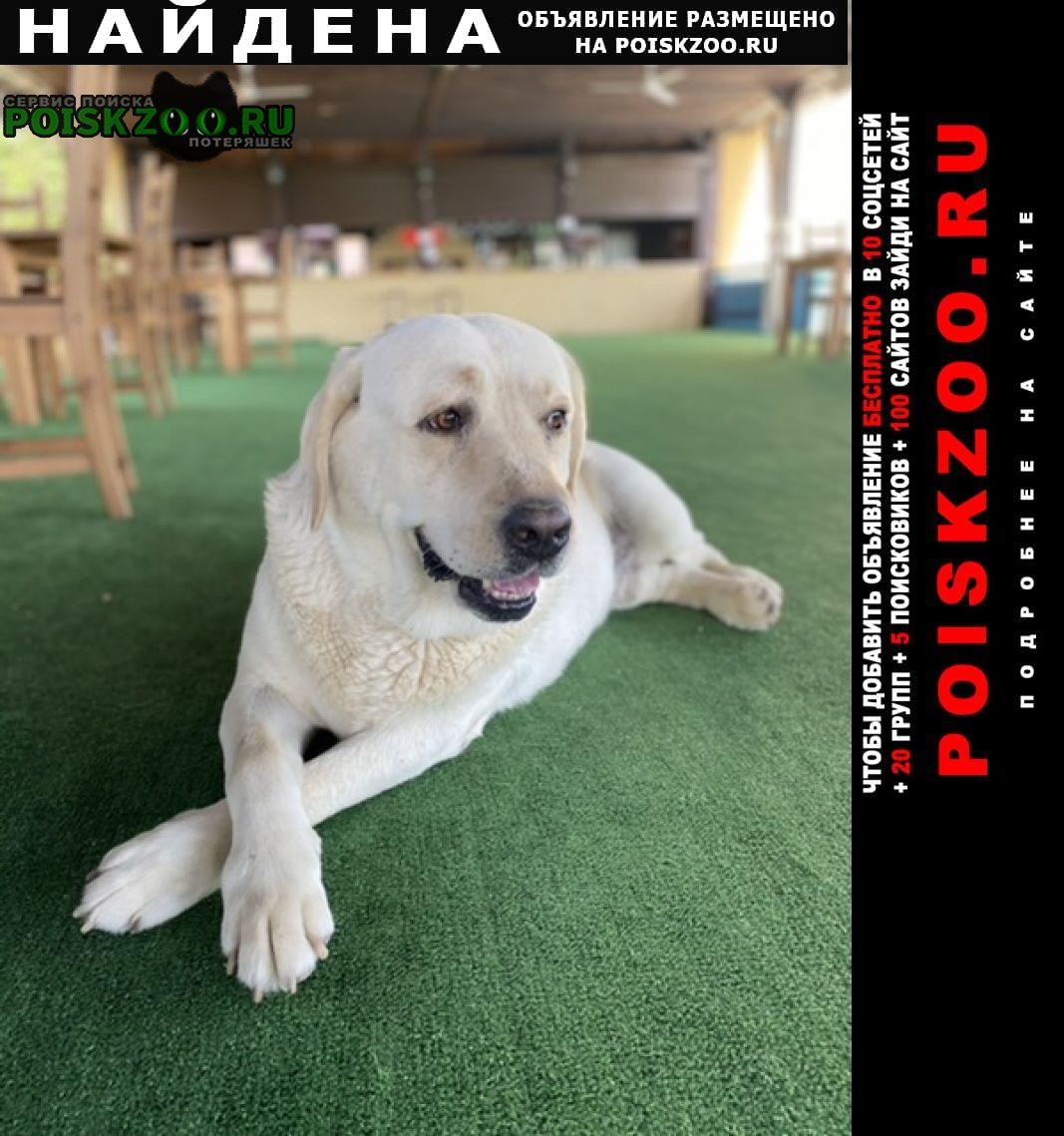 Найдена собака кобель лабрадор, мальчик, упитанный Средняя Ахтуба