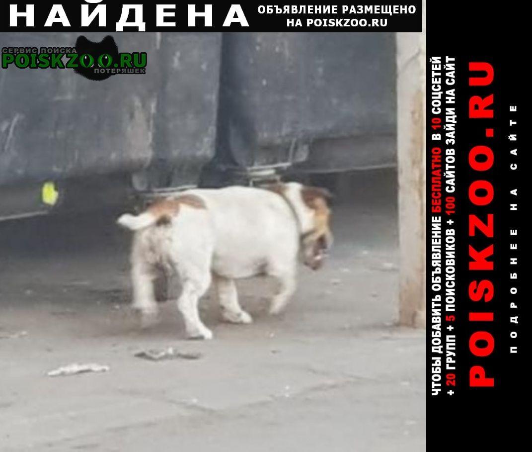 Красногорск Найдена собака джек рассел терьер