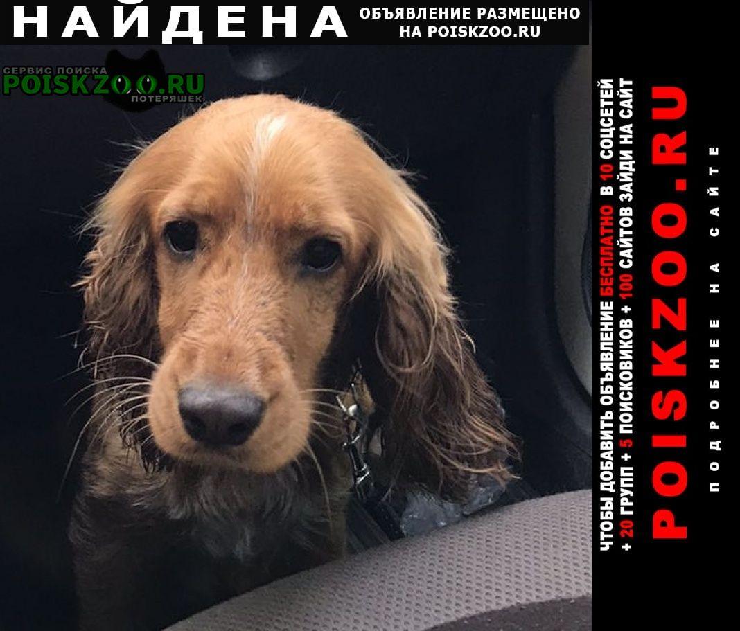 Найдена собака кобель в районе боровково спаниель Мыски