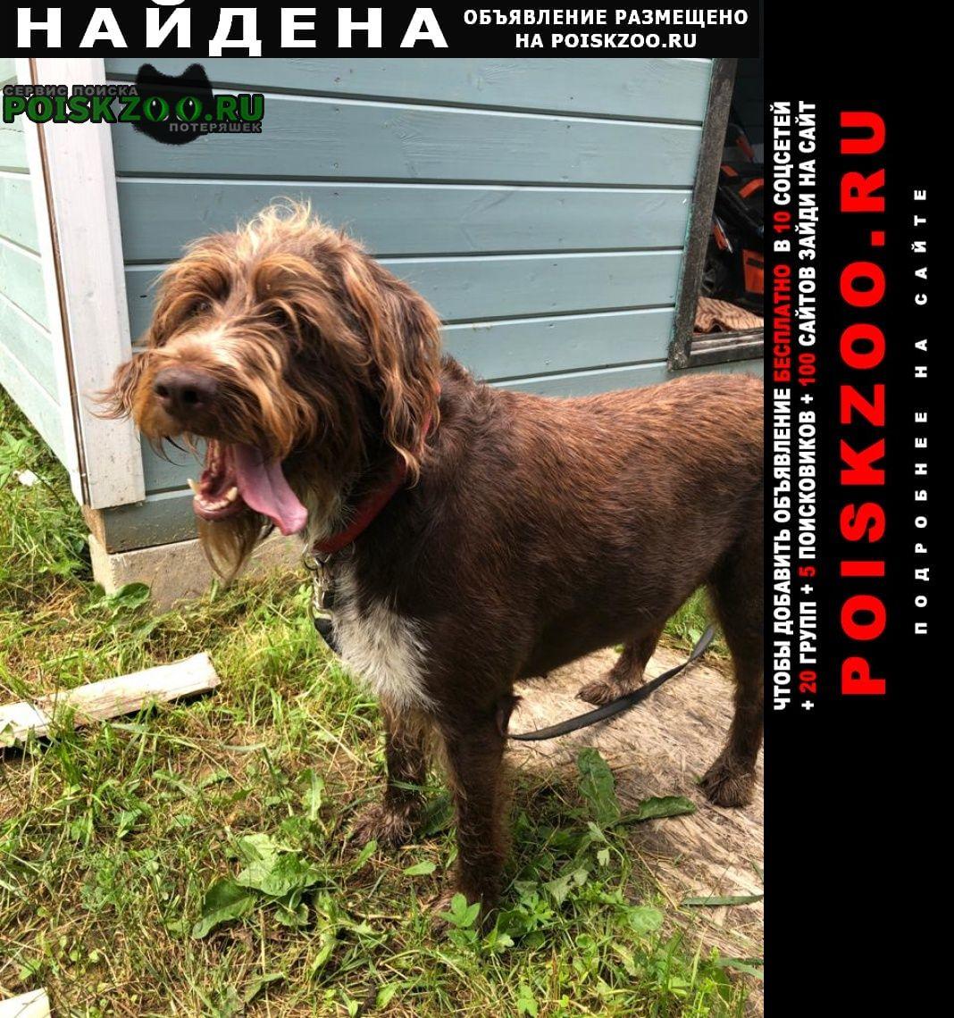 Найдена собака дратхаар Заокский