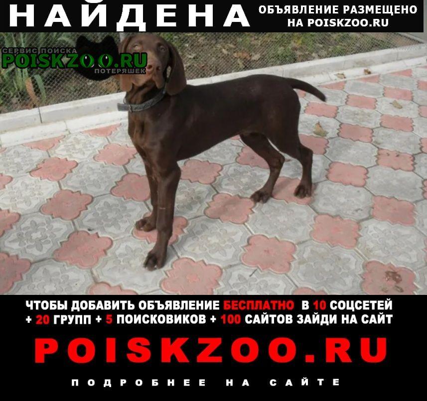 Найдена собака кобель породы курцхаар Сергиев Посад