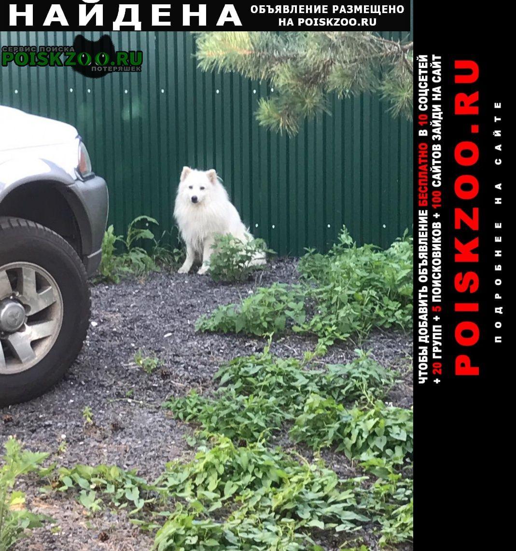Черноголовка Найдена собака японский шпиц белый