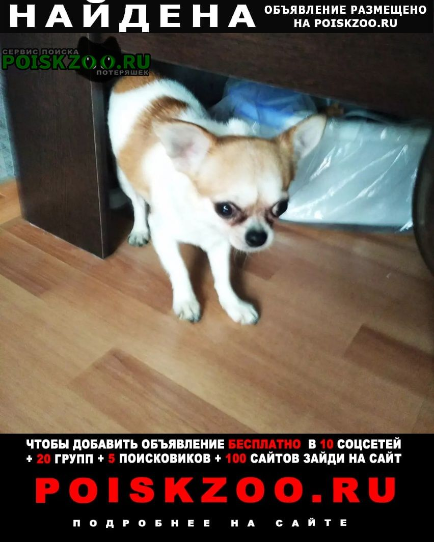 Найдена собака кобель чихуахуа Москва