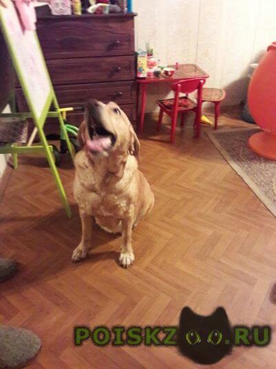 Найдена собака лабрадор г.Нижний Новгород