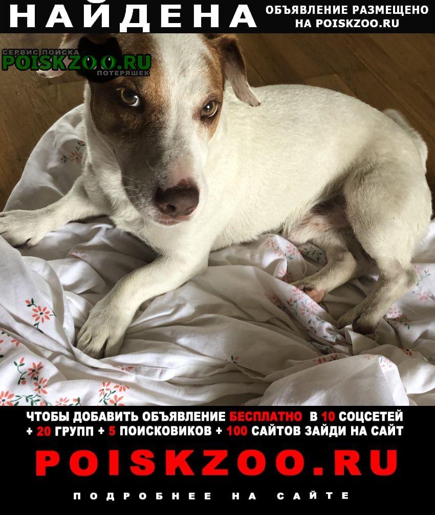 Найдена собака кобель джнк рассел терьер Звенигород