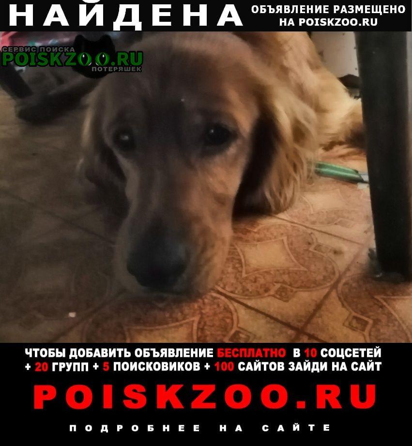 Найдена собака кобель пёс рыжий похож на сеттера Хабаровск