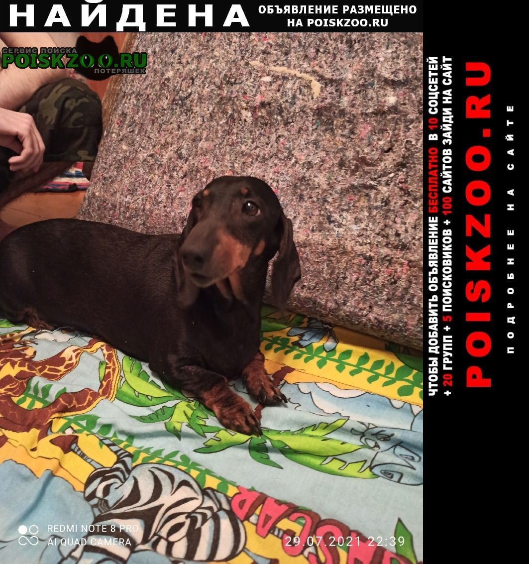 Найдена собака такса девочка Воронеж