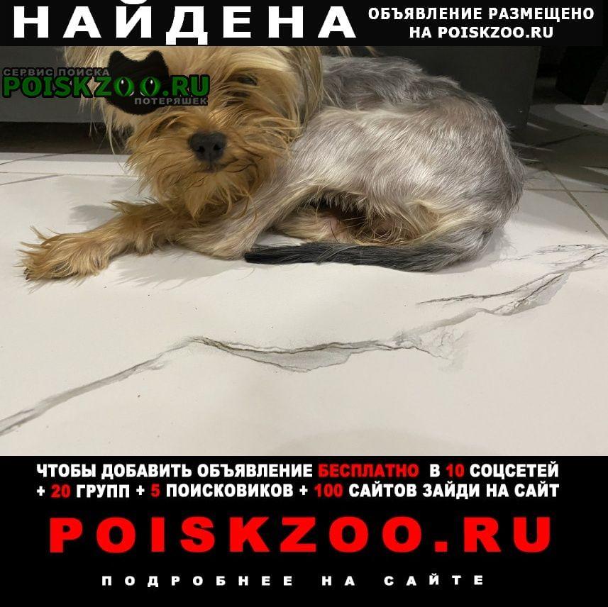 Найдена собака кобель йорк мальчик Саратов
