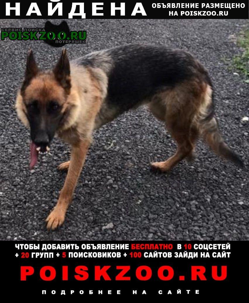 Найдена собака немецкая овчарка Александров