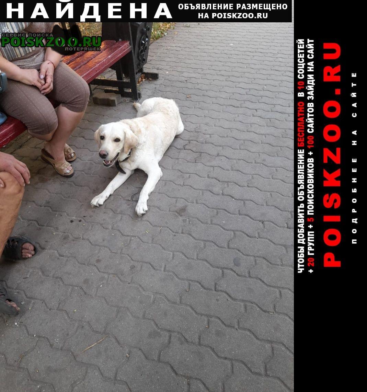 Найдена собака кобель порода лабродор Старый Оскол