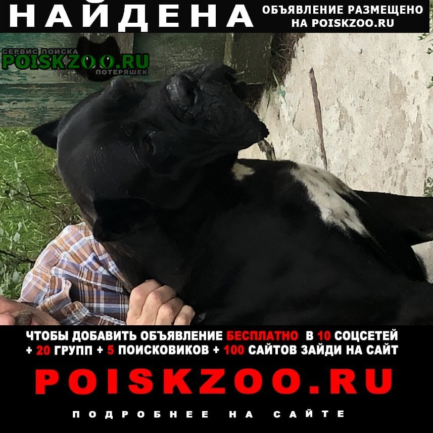 Найдена собака девочка, предположительно бульдог Ивантеевка (Московская обл.)