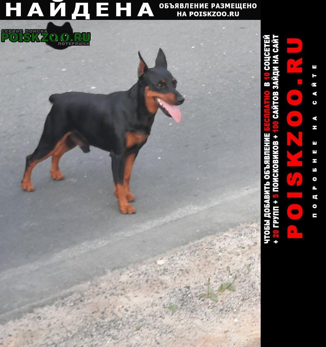 Найдена собака кобель цвергпинчер в районе дер. ветчи Киржач