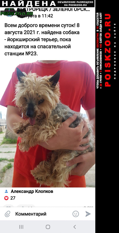 Найдена собака йоркширский терьер Сестрорецк