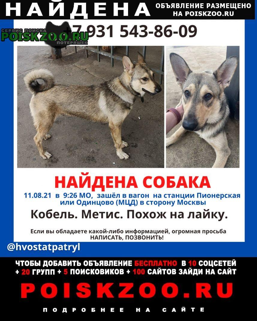 Найдена собака кобель мальчик - метис с кожаным ошейником Одинцово